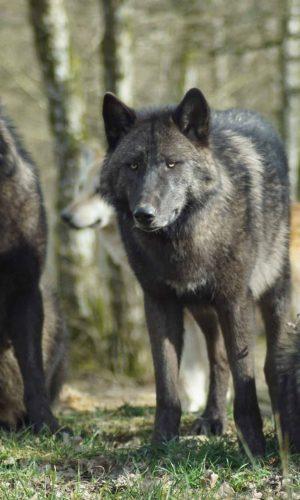 chandal wolves
